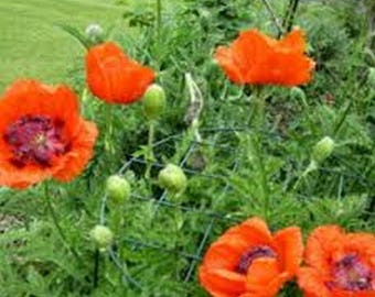 Poppy- Orientale Orange-Scarlet- 200 Seeds