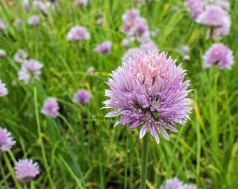 Bed of Allium Flowers Digital Photo