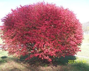 "5 Burning Bush Plants(Euonymus Alatus 'Compacta') 3""containers"
