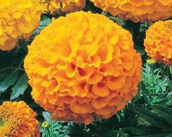 500 Bulk Flower Seeds Marigold Antigua Gold