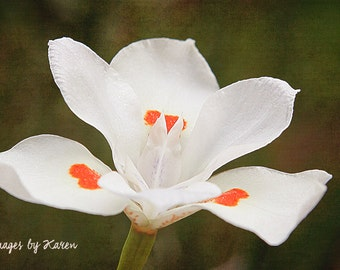 Flower Photography, African Iris Photography - Fine Art Photography