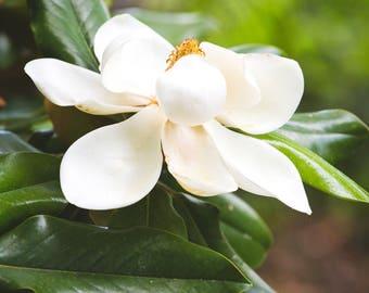 magnolia photography, southern magnolia, southern decor, magnolia print, large wall art, floral photography, southern photography, magnolia