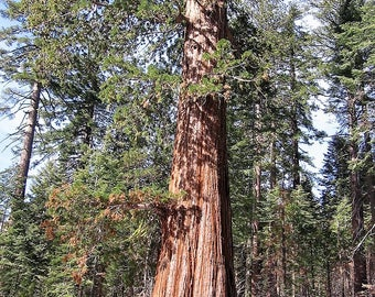 40 GIANT SEQUOIA Sequoiadendron Giganteum Sierra Redwood Tree Seeds * Flat Ship