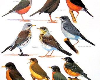 Vintage Bird Print - Island Thrush, Fieldfare, Austral Thrush, American Robin, Clay Colored Robin - 1990 Vintage Book Page - 11 x 9
