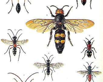 Wasp Print  - Sphecid Wasp, Scoliid Wasp, Pompilid Wasp, Mutillid Wasp, Cuckoo Wasp, Sand Wasp - 1973 Vintage Book Page - 10 x 7