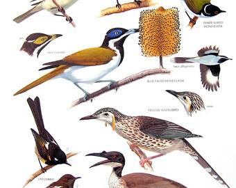 Vintage Bird Print - Mimic Meliphaga, Yellow Wattlebird, Noisy Friarbird, Blue Faced Honeyeater - 1990 Vintage Book Page - 11 x 9
