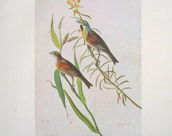 Dickcissel - Audubon Bird Print - 1966 Vintage Book Page - 13 x 11