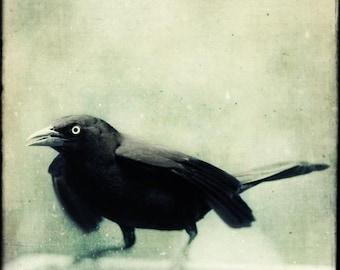 Gothic Decor, Bird Wall Art, Grackle, Raven, Crow, Wall Decor, Fall Decor, Wall Decor, Bird Decor, Bird Photography, Halloween Art Print