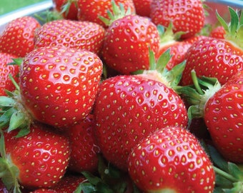 10 Strawberry Plants Sweet Charlie SUPER-SWEET BERRY (Pack of 10 bare roots ) Zones 4-9.