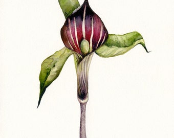 Jack in the Pulpit - Botanical archival Art print, gardening
