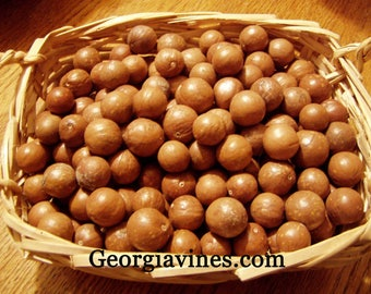 Macadamia integrifolia Macadamia Nut Tree FREE SHIP
