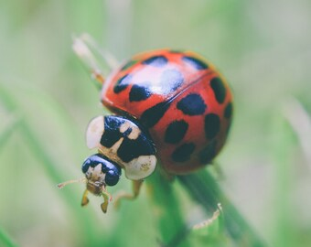 Ladybird Macro, Nature Photography, insects, Wall Art, Home Decor