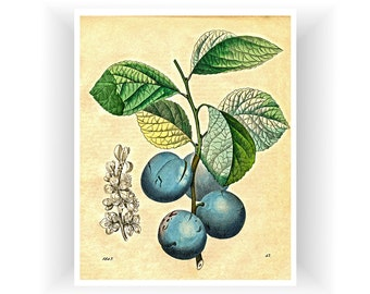 Plums Art For Kitchen