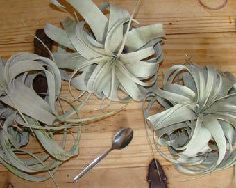 Tillandsia xerographica XL Air Plant