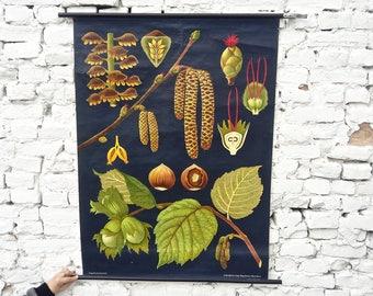 "Vintage German school pull down chart ... wall map ... ""The Hazelnut"" ... paper ... canvas ... 1965"