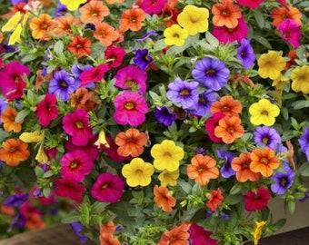 200 seeds Mixed Bonsai Petunia Hybrid   for hanging baskets orange yellow red blue flowers rare