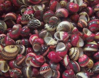 Nerita Communis Seashells  (5 Shells)