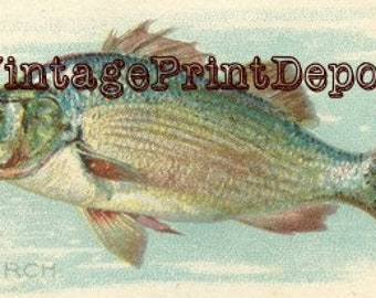 Perch Fish, Perch Fish Wall Art, Perch Fish Art, Perch Fish Digital Art, American Fish, Fish Collection Art, Fish Collection Fish Wall Decor