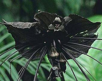 Black Bat Flower Seeds AKA Devil Flower Tacca Chantrieri Commercial Pkt of 4 Seeds