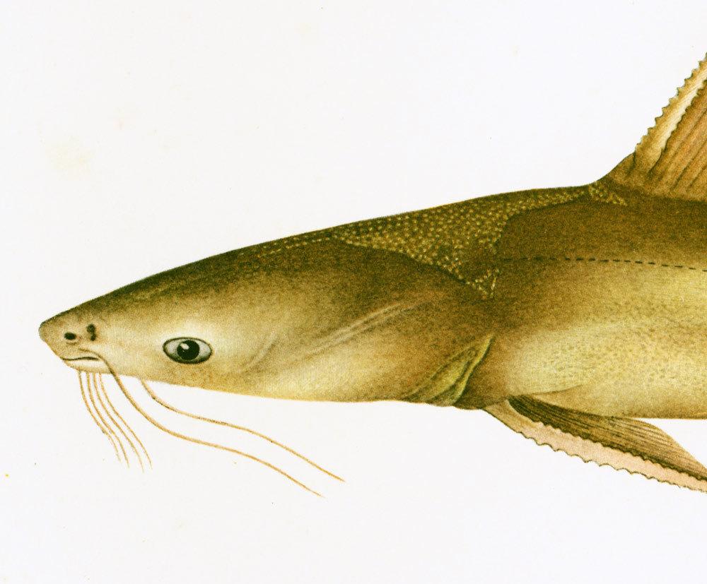 1932 Antique Catfish Print. Freshwater Gamefish Print.