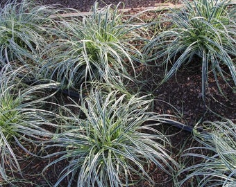 Carex 'Feather Falls'  - 1 Plants - 1   Feet Fall -  Ship in 1 Gal Pot
