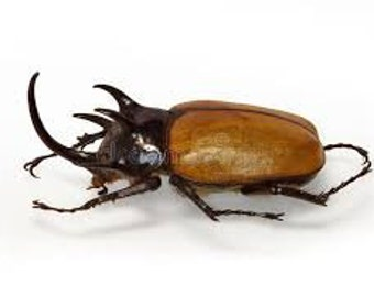 Five-Horned Rhinoceros Beetle Eupatorus gracilicornis Male Real Insect