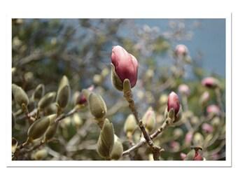 Magnolia Buds Spring Flower Bud Pink Floral Botanical Print