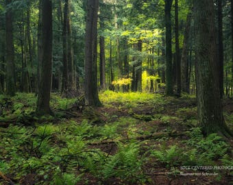 Nature Photography, Old Growth Forest, Porcupine Mountains, Michigan, Fine Art Print, Green Woodland, Wilderness, Magical, Cabin Home Decor