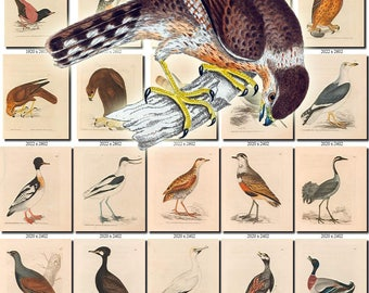 BIRDS-202 Collection of 278 vintage pictures Merlin waterfowls carnivore birds Crow Ouzel digital download printable images 300 dpi animal