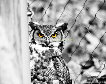 Great Horned Owl Black and White Print