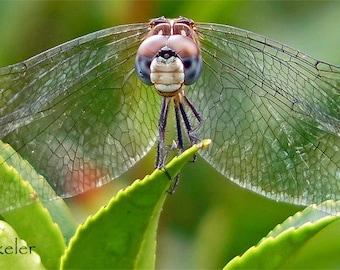 Dragonfly Fine Art Photograph 5x7