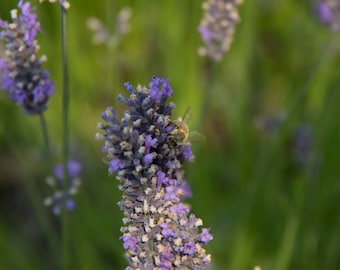 Lavender and Bee Art Card by Nastazja Maria Photography, Island, Insects, Gardens, Flowers, Herbs, Summer, Spring, Pollination, Photo Print