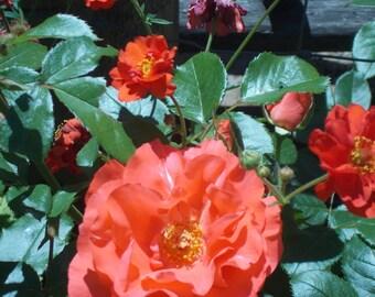 Red Geum Flower seeds, perennial flower seeds, gardening, English style garden,