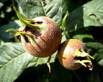 Medlar Tree 15 Seeds - Mespilus germanica (Anatolian-Rare)