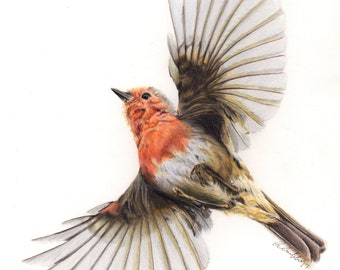 Robin In Flight Print