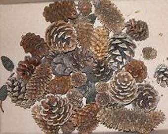 20 mixed Pinecones Pine