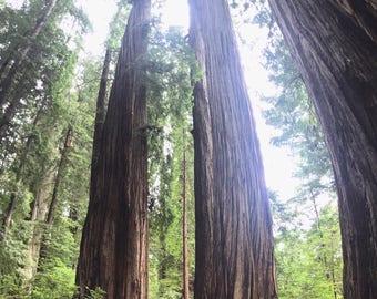 Redwoods 5x7 Print