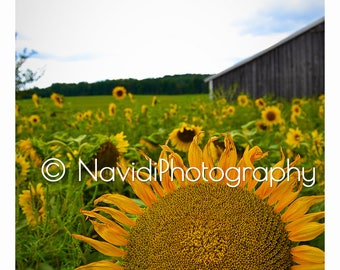 Sunflower Field Print - Digital Print