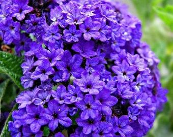 Heliotrope Marine Blue Flower Seeds / Half-Hardy Annual  50+