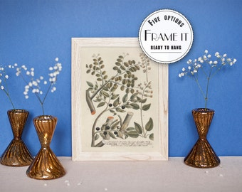 "Vintage illustration of Sandalwood - framed fine art print, botanical art, 8""x10"" ; 11""x14"", FREE SHIPPING 036"