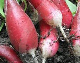 Radish, french breakfast , heirloom, organic 50+ seeds, tasty long salad radish