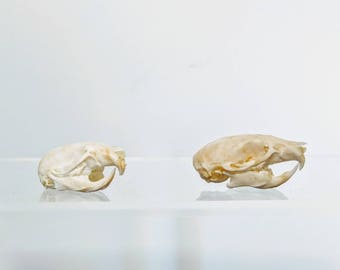Small Mouse Skull - Real Animal Skull - Rodent - Taxidermy - Oddities