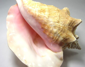 "Beach Decor Conch Seashells - Nautical Decor Giant Pink Conch Shell - Large Sea Shells - Coastal Decor - Beach Wedding Shells - 8-9"""