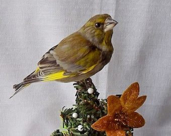 Real Taxidermied  European greenfinch (Chloris chloris)\ Stuffed bird \ Mounted bird