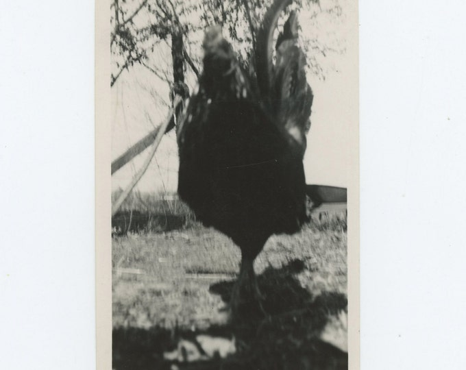 Rooster Close-Up, 1940: Vintage Snapshot Photo [71540]