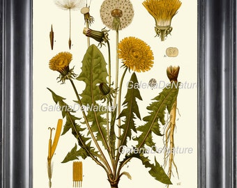 Botanical Print 21 Art Kohler 4x6 5x7 8x10 11x14 Beautiful Dandelion Antique Illustration Chart Petals Yellow Wildflower Home Decor to Frame