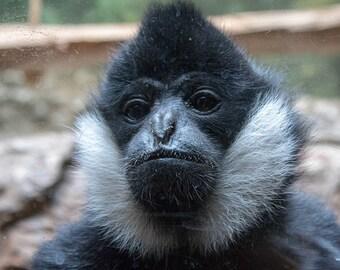Lincoln Park zoo Ape