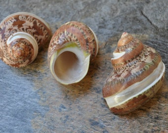 "Banded Tapestry Turbo Seashell (3 pcs.) - (1.5-2"") - Turbo Petholatus"