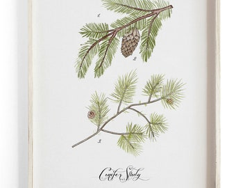 Conifer Study - Pine evergreen Scientific illustration.  Beautifully textured cotton canvas art print.  Large scale art
