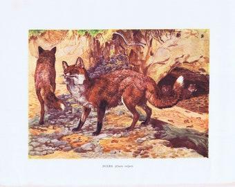 antique print foxes 1903